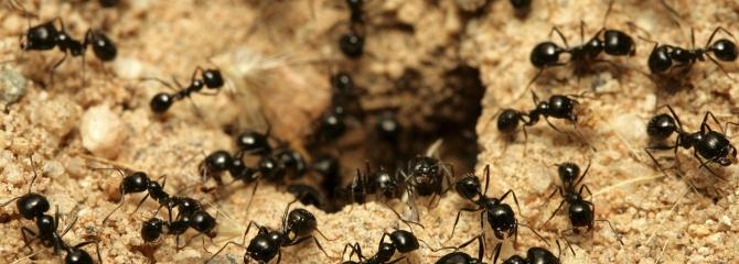 Ongediertebestrijding inschakelen bij mierenplaag.